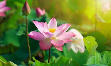 Khám phá ý nghĩa của loài hoa tháng 8 – Hoa Sen